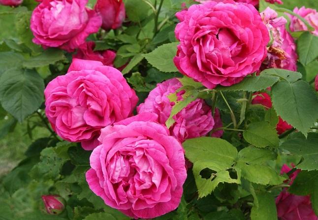 розы Ульрих Бруннер Фис